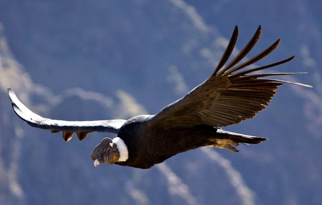 Le condor andin salue les belles argentines avec un conte à dormir debout de Nicolas Bonnal : entretien avec un toucan (contes de la série III,Iguaçu)