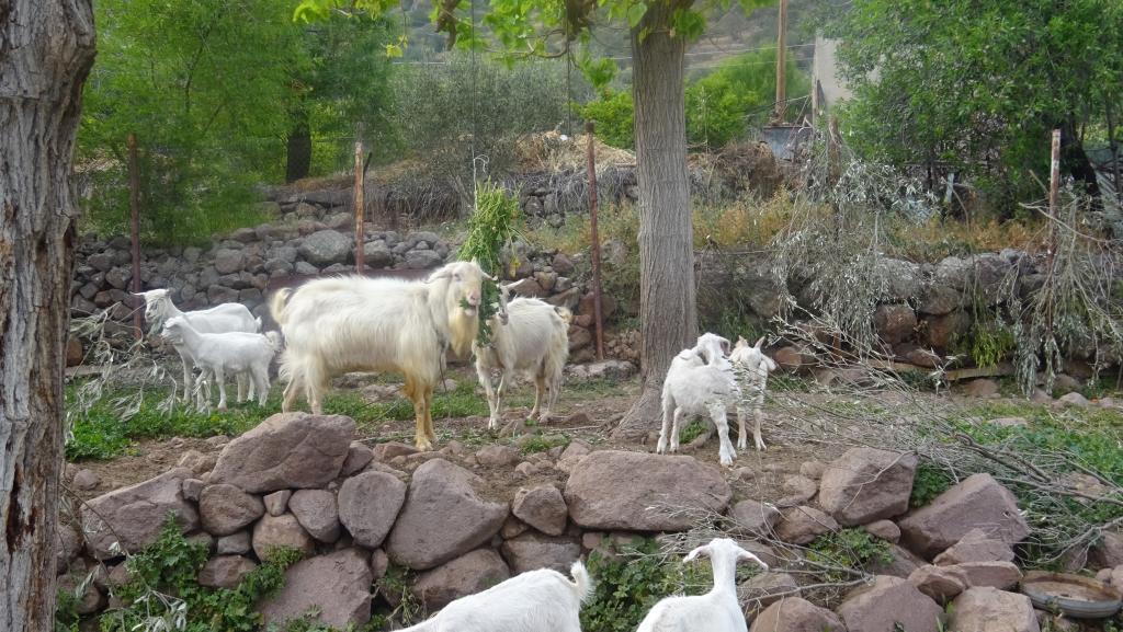 Cher Nicolas (Panagiotis nous écrit de Grèce, de Trézène, pensez Racine: «le dessein en est pris, je pars, cher Théramène, et quitte le séjour de l'aimable Trézène…»). Les chèvres se correspondent, les hommes étant partis – tous oupresque.